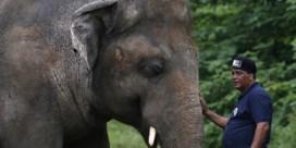 'Eenzaamste olifant ter wereld' mag eindelijk zoo verlaten