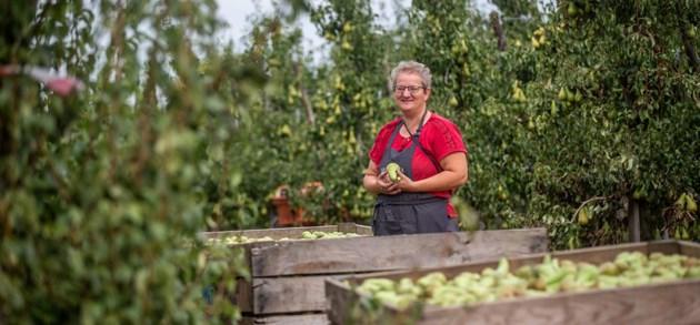 Hoe kweek je peren zonder sporen van pesticides?
