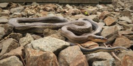 Op slangenjacht langs Hasselts treinspoor