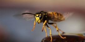 Mep niet zomaar een wesp dood, ze redden de planeet
