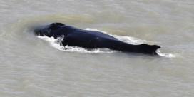 Ongezien: bultrugwalvis is de weg kwijt in Australische rivier