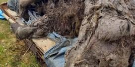 Vrijwel intacte holenbeer uit Pleistoceen gevonden