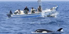 De wraak van de orka's: zwaardwalvissen vallen motorboten aan nabij Gibraltar