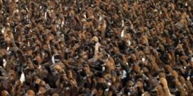 Boeren zetten duizenden eenden in op rijstvelden