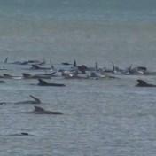 Race tegen de tijd om honderden gestrande dolfijnen te redden