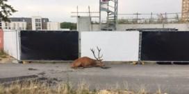 Opgejaagd hert vlucht de stad in om aan jagers te ontsnappen