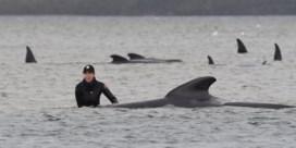 Meer dan 300 aangespoelde walvissen gestorven op Tasmanië