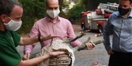 Na weken zoeken is nest Aziatische hoornaars gevonden: 'Hopelijk hebben we drama vermeden'