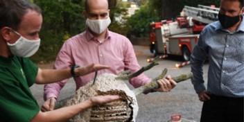 Nest Aziatische hoornaars gevonden: 'Hopelijk hebben we drama vermeden'