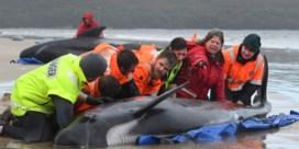 Deel aangespoelde walvissen wordt gedood, kwart gered