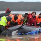 Deel aangespoelde walvissen wordt ingeslapen, kwart gered