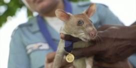 Prestigieuze onderscheiding voor rat die mijnen detecteert