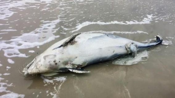 Dode bruinvissen spoelen aan door storm Odette