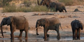 Bacterie doodt Afrikaanse olifanten