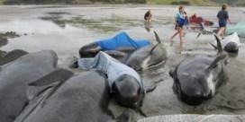 Gestrande walvissen sterven in baai in Nieuw-Zeeland