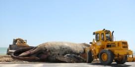 Bultrugwalvis spoelt aan op Zuid-Afrikaans strand