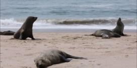 Meer dan 7.000 dode zeeleeuwen aangetroffen op strand: 'Nog geen duidelijke doodsoorzaak'