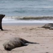 Meer dan 7.000 dode zeehonden aangetroffen op strand: 'Nog geen duidelijke doodsoorzaak'
