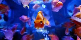 Kweker heeft een makkie aan de goudvis