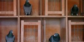 Maakt een duif van 1.3 miljoen de duivensport niet kapot?