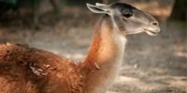 Loslopende honden dringen binnen in Planckendael en bijten twee guanaco's dood