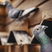 Hoe duivenmelken een miljoenenbusiness werd