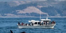 Mysterie van tientallen orka-aanvallen mogelijk opgelost