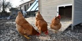 Vogelgriep: vijfentwintigduizend kippen afgeslacht in Denemarken, eerste geval in Frankrijk