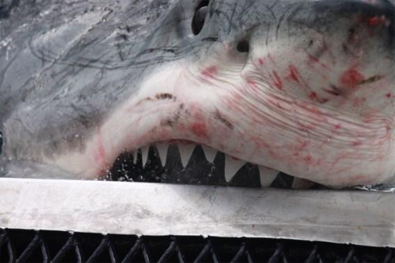Man sterft bij aanval door haai in Australië