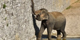 Opnieuw olifantje verwacht in Pairi Daiza