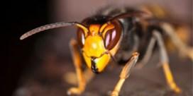 'Invasie van Aziatische hoornaar niet te stoppen'
