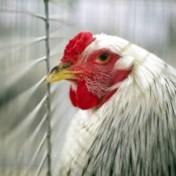 Verschillende besmettingen met vogelgriep in pluimveebedrijf in Menen