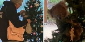 Australische familie vindt koala in kerstboom: 'Dit zie je niet elke dag'