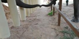 'Eenzaamste olifant ter wereld' heeft eindelijk contact met soortgenoot