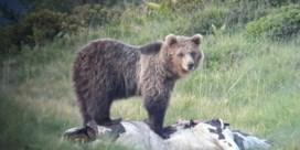 Gevangen bruine beren beroeren de Dolomieten