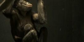 Bonobojong geboren in Planckendael