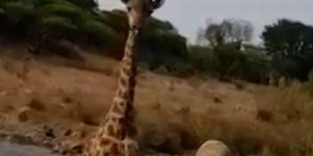 Giraf achtervolgt toeristen op safari in Masai Mara