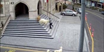 Vier schapen en een geit verlaten boerderij en bezoeken stadscentrum