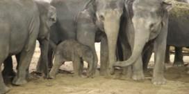 Aziatische olifant geboren in Pairi Daiza