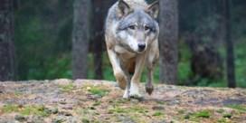 Damherten en geit overleven vermoedelijke aanval van wolf niet