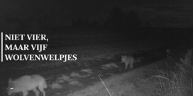 Wolvenpaar August en Noëlla kreeg vijf welpen