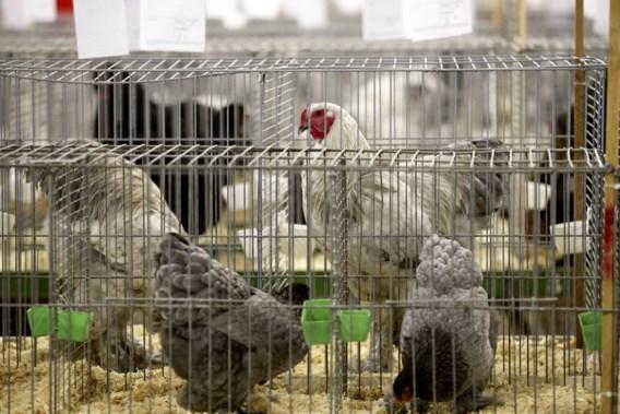 Al 19 gevallen van vogelgriep in ons land sinds midden november
