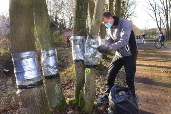 Verminkte bomen De Liereman bijna hersteld dankzij speciale pleisters