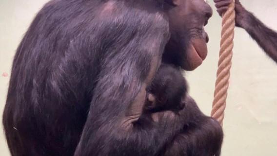 Bonobo's in Zoo Planckendael verwelkomen nieuwjaarsbaby