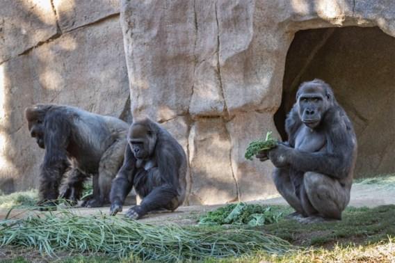 Gorilla's besmet met coronavirus in dierenpark San Diego