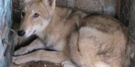 Kruising tussen wolf en hond is ongewenst