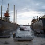Gigantisch walvissenkarkas geborgen in Italië