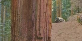 De vrouw naast de mammoetboom, postkaart, 1939