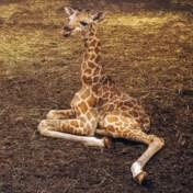 Kalfje van bedreigde giraffensoort geboren in safaripark Beekse Bergen