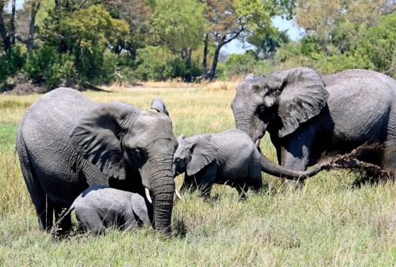 Hekken oorzaak mysterieuze olifantensterfte in Botswana: 'Dieren hebben bewegingsruimte nodig'